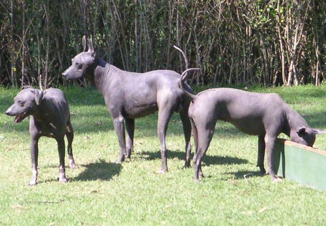 The Colima Dog