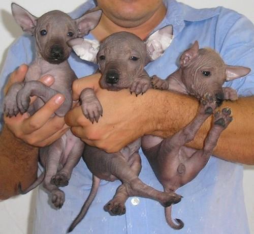 the Xolo breed